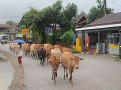 Cows take over the road in sleepy Vang Vieng