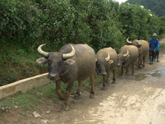 Water buffalo formation