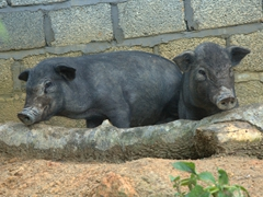 Curious pigs; Ta Phin village