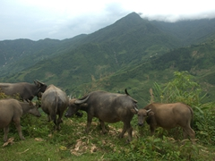 Water buffalo grazing by the side of our trekking path; Sapa