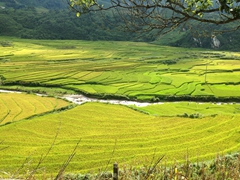 Lovely green hue of a rice paddy