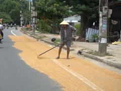 Raking rice by the roadside; Hue