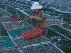 Sorting dried fish; Cua Dai Fishing village