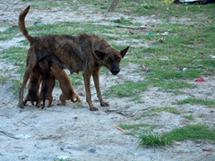 Hungry puppies fight for milk; near Jungle Beach