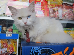 An odd-eyed cat stares us down; Hue