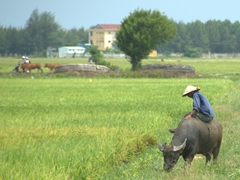 Farmer riding his water buffalo; Hoi An
