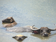 Water buffalo cooling off in a shallow pool; Cam Kim Island