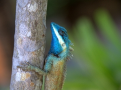 Colorful lizard; Jungle Beach