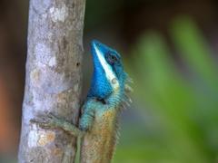 Colorful lizard; Jungle Beach