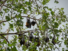 Fruit bats of Wat Baydamram