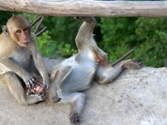 A monkey performing a dental exam; Phnom Sampeau
