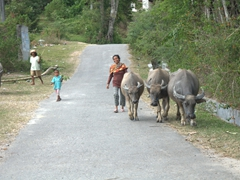 A friendly lady smiles as she herds her water buffaloes