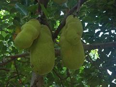 Jackfruit tree; Bukit Lawang