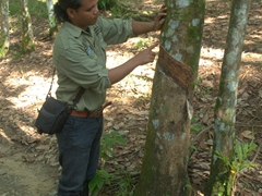 Jungle Eddie showing us rubber tapping; Bukit Lawang