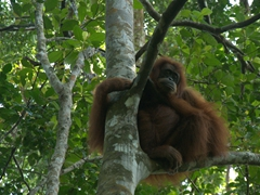 A mama orangutan looks down upon our excited group; Bukit Lawang