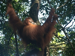 "Side profile of an orangutan (Malay for ""person of the forest""); Bukit Lawang"