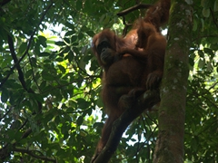 A mother orangutan and her baby; Bukit Lawang