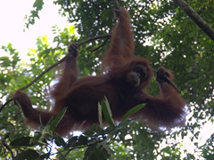 Female orangutan swinging through the forest; Bukit Lawang