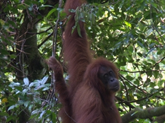 Final goodbye look before this female orangutan disappears into the forest