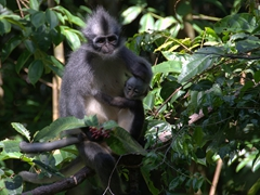 Thomas's leaf monkey and her baby; Bukit Lawang