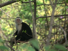 A fleeting view of a white faced capuchin monkey