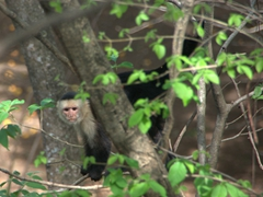 This white faced capuchin monkey kept its distance from us so it was impossible to get a close up shot of it