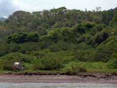 Our guide told us that this cow is playing Russian roulette with its life as the large crocodiles that inhabit the Tarcoles River have been known to attack prey from the shoreline