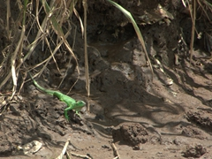 A large green iguana approaches the Tarcoles River