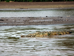Our first glimpse of a crocodile in the Tarcoles River, one of the most densely populated crocodile habitats in the world