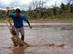 Another view of the crocodile leaping out of the water to grab a morsel of chicken; Tarcoles River
