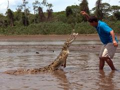 A final shot of crocodile man tempting fate while feeding a juvenile crocodile in the Tarcoles River