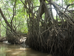 Mangrove forest in Tarcoles River