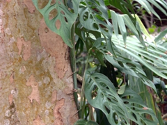 """View of """"monstera obliqua"""" or """"swiss cheese vine"""" which has natural holes in the leaves to allow sunlight to reach the bottom layers of this tree climbing plant"""