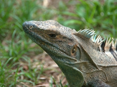 An iguana poses for its portrait
