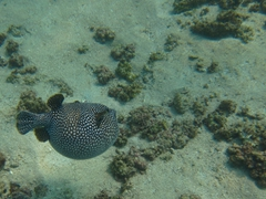 A guineafowl puffer (characterized by its black skin covered in white polka dots) is partially inflated but manages to zoom away; La Entrega