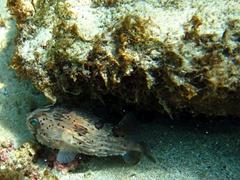 A porcupinefish tries to hide; La Entrega