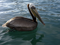 A pelican scopes out fishing boats in search of a quick and easy meal; Cabo San Lucas