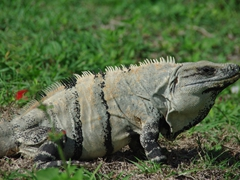 An engorged iguana chills at Uxmal