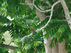"""Turquoise browed motmot bird, named """"Toh"""" by the Mayas; Chichen Itza"""