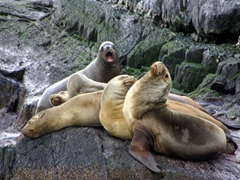 Sea lions are captivating to watch; Beagle Channel