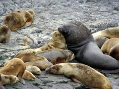 A giant male sea lion nudges his female companion; Beagle Channel