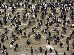Cormorants galore in the Beagle Channel