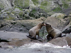 Sea lions nipping each other; Beagle Channel