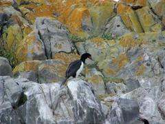 Cormorant colony; Beagle Channel