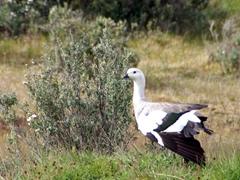 Magellan Goose; Tierra del Fuego park