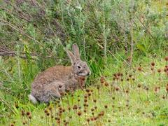 Wild rabbit; Tierra del Fuego park