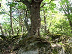 This tree appears to be growing out of the rock beneath it; Tierra del Fuego park
