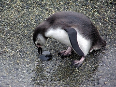 A Magellanic penguin tries to pick up a rock for its nest; Beagle Channel tour
