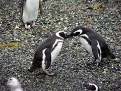 Two magellanic penguins are engaged in a mating ritual; Beagle Channel