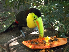 A hungry toucan feeds on papaya